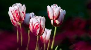Alles über Tulpen Bestseller