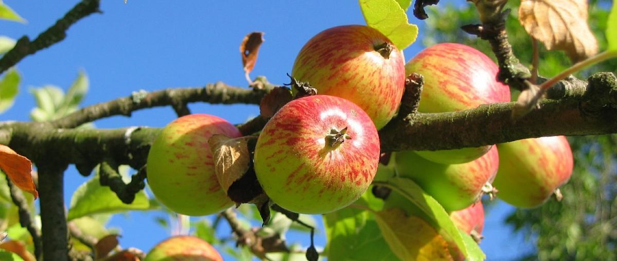 Viele unterschiedliche Apfelbäume