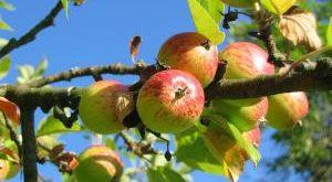 Welche Apfelbäume Sorten gut ankommen Bestseller