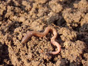 Regenwürmer Tipps für den Garten